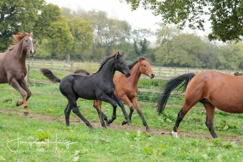 mares with yearlings running
